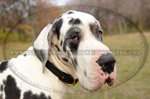 Great-Dane-Braided-Leather-Collar-Stitched