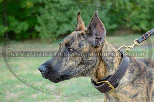 Durable 2 Ply Leather Great Dane Collar