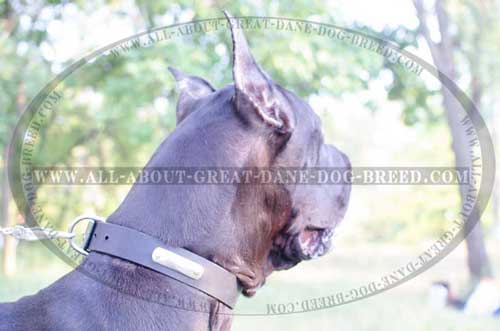 Leather Great Dane Collar with Name Plate