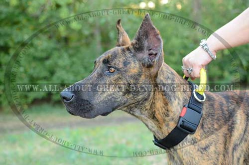 Nylon Great Dane Collar with ID Patches