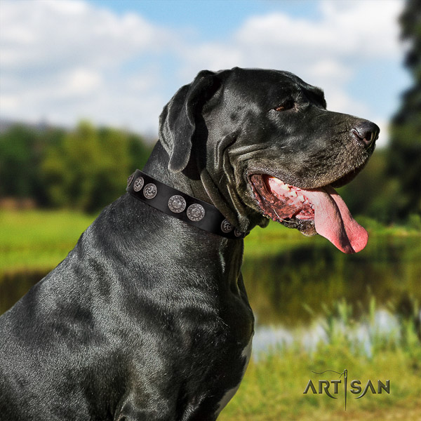 Great Dane daily use full grain genuine leather collar with adornments for your canine