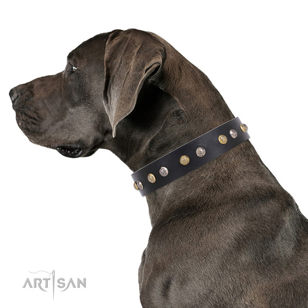 Great Dane studded leather dog collar for walking