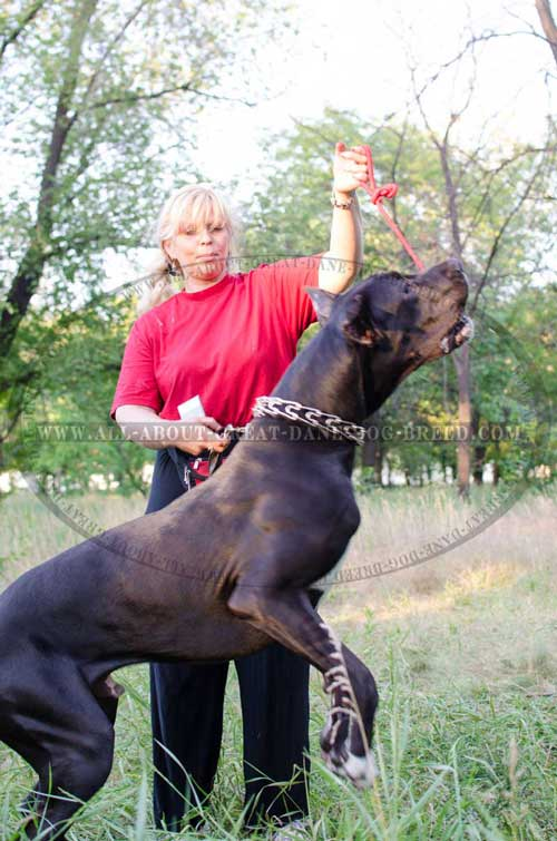 Great Dane prong collar for effective training