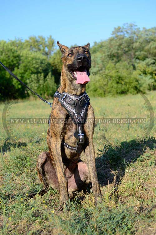 Barbed Wire Leather Great Dane Harness