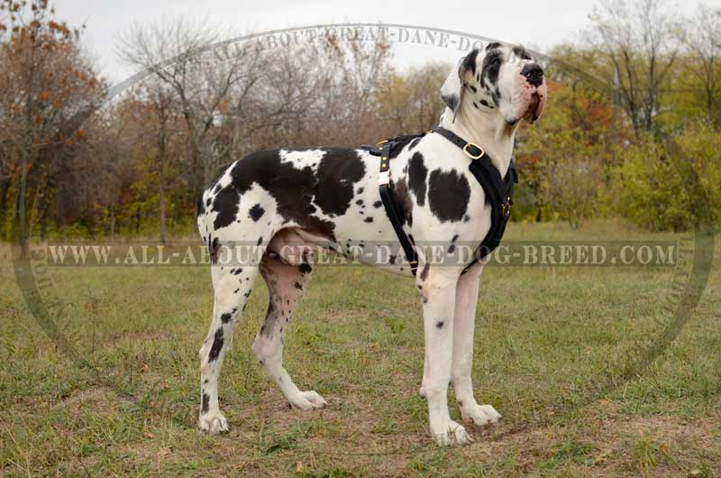 What Are Great Danes Bred For Lifelong Leather Great Dane