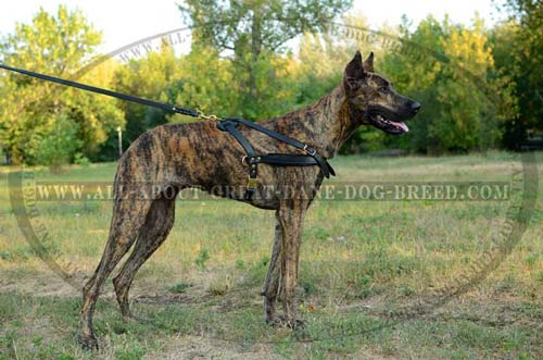 Pure Leather Great Dane Breed Harness