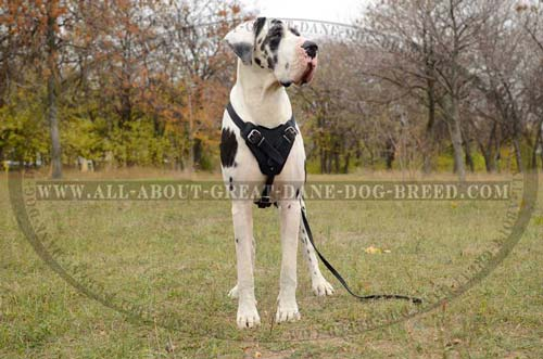 Great-Dane-Dog-Leather-Harness-Strong-Unique
