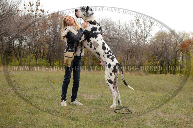 Great Dane Big Dogs Breeds