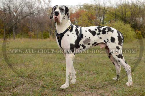 Comfortable Leather Great Dane Harness