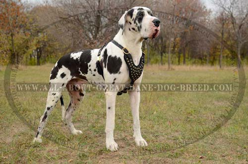 Rust Resistant Leather Harness for Great Dane