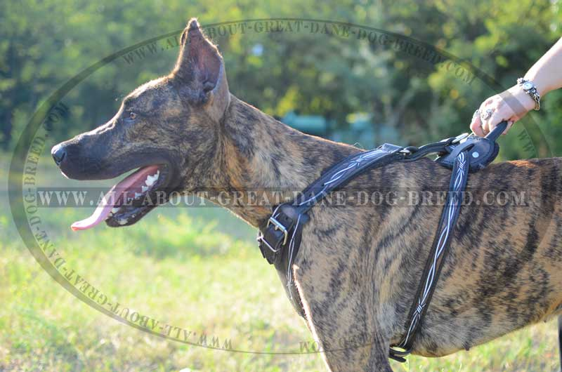 Handle On Barbed Wire Leather Great Dane Harness big barbed wire leather great dane harness [h1bw 1094 painted leather wire dog harness at bayanpartner.co