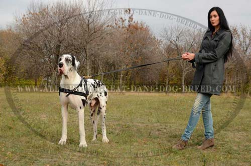 Padded-Leather-Great-Dane-Harness-for-Tracking-small