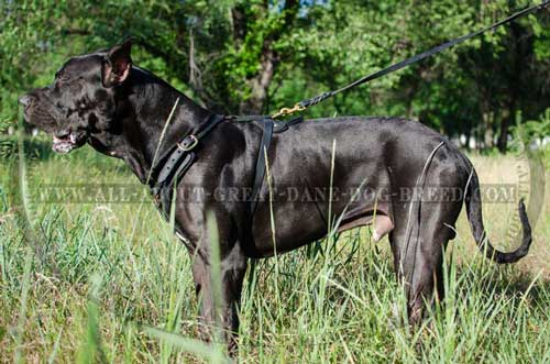 Padded Leather Great Dane Harness