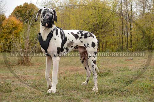 Great Dane Leather Muzzle Dog Training