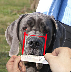 How to measure width of your dog muzzle